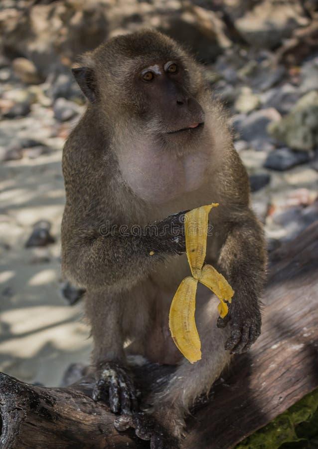 Обезьяна есть банан стоковые изображения rf
