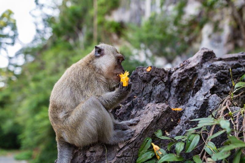 Обезьяна есть свежие фрукты на открытом воздухе Животное Таиланда стоковые фото