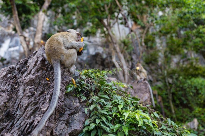Обезьяна есть свежие фрукты на открытом воздухе Животное Таиланда стоковая фотография rf