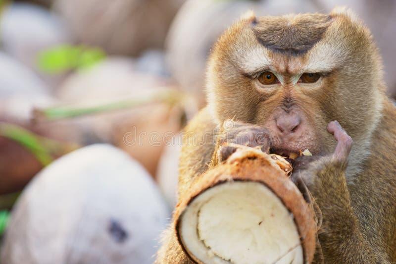 Обезьяна ест кокос на плантации кокоса на Koh Samui, Таиланде стоковое изображение rf