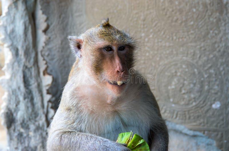 Обезьяна ест тропический плодоовощ Еда фото крупного плана обезьяны Милый пушистый шимпанзе с экзотическим плодоовощ стоковое изображение rf