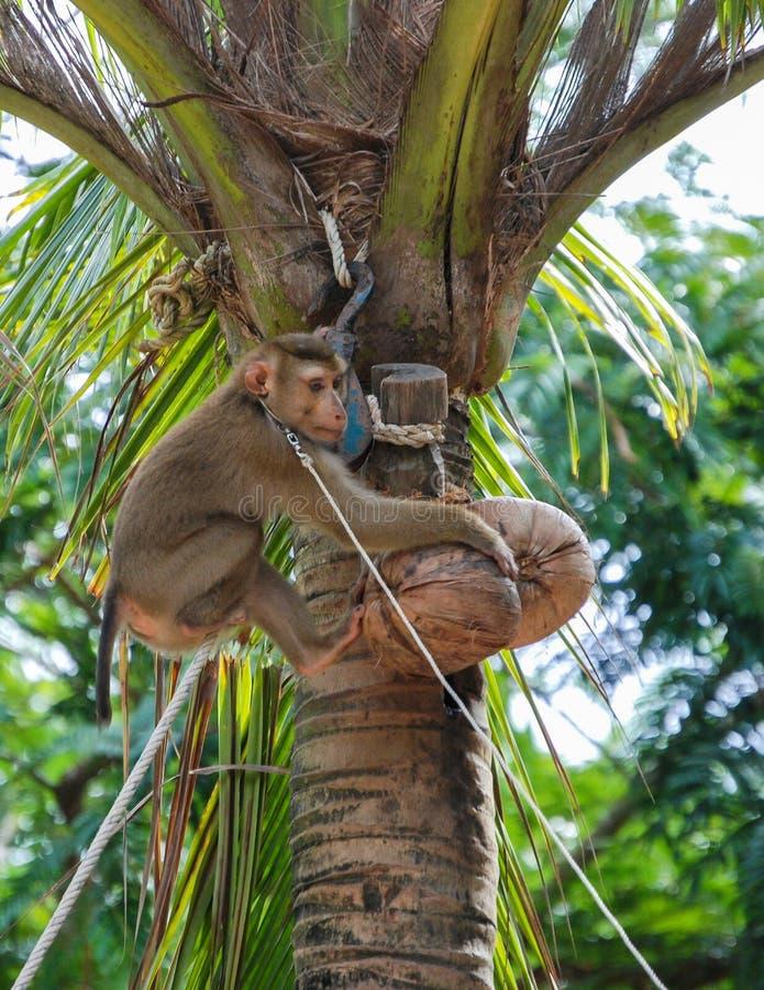 Обезьяна кокоса стоковое фото