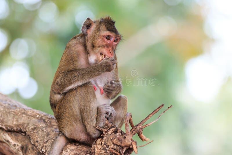 Обезьяна (Краб-есть макаку) есть плодоовощ на дереве стоковые изображения rf