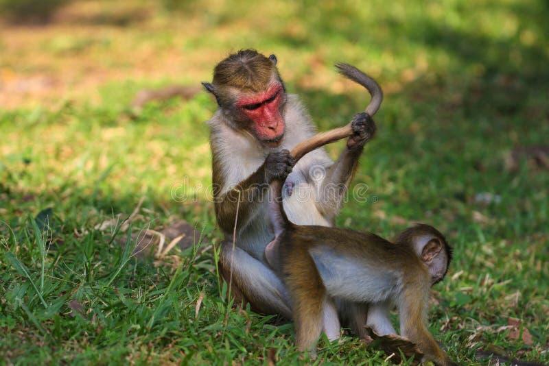 Обезьяна макаки матери ищет деревня в мехе babys стоковое фото rf