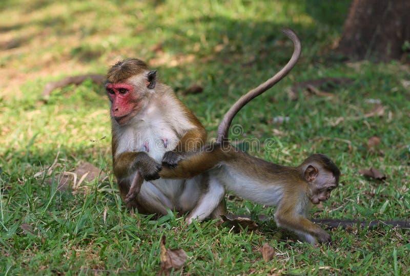 Обезьяна макаки матери ищет деревня в ноге babys стоковая фотография rf