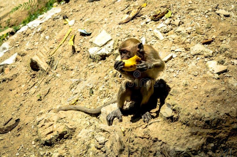 Обезьяна макаки eatting в солнечном свете, Малайзия стоковая фотография