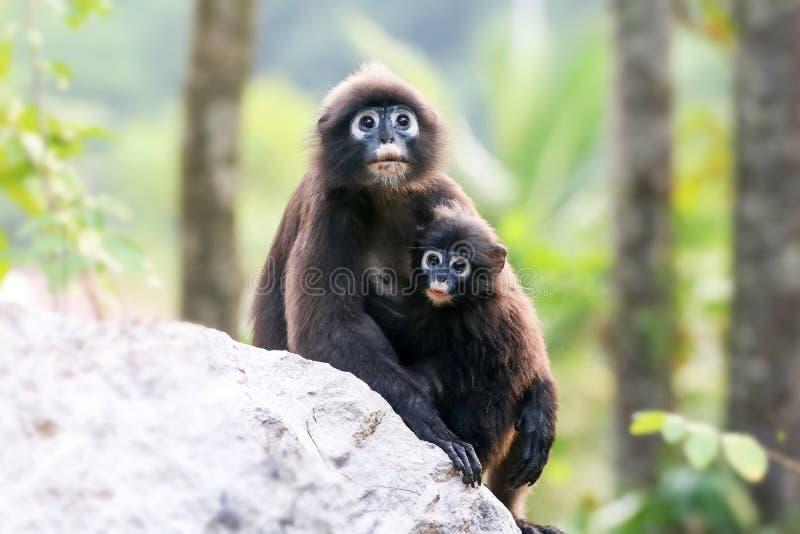 Обезьяна матери и младенца или dusky langur наблюдали лес стоковое фото