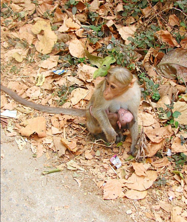 Обезьяна матери - макака Bonnet - индийская обезьяна - подающ ее младенец - влюбленность и забота в животных стоковое фото