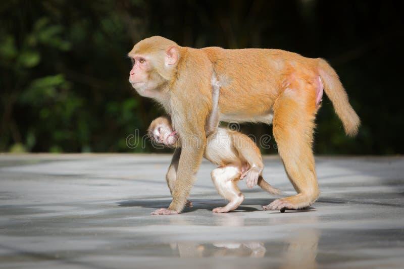 Обезьяна матери подает ее младенец стоковые фотографии rf