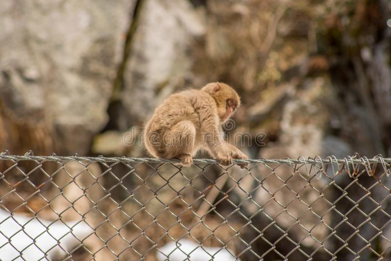 Обезьяна младенца на загородке звена цепи стоковые фотографии rf