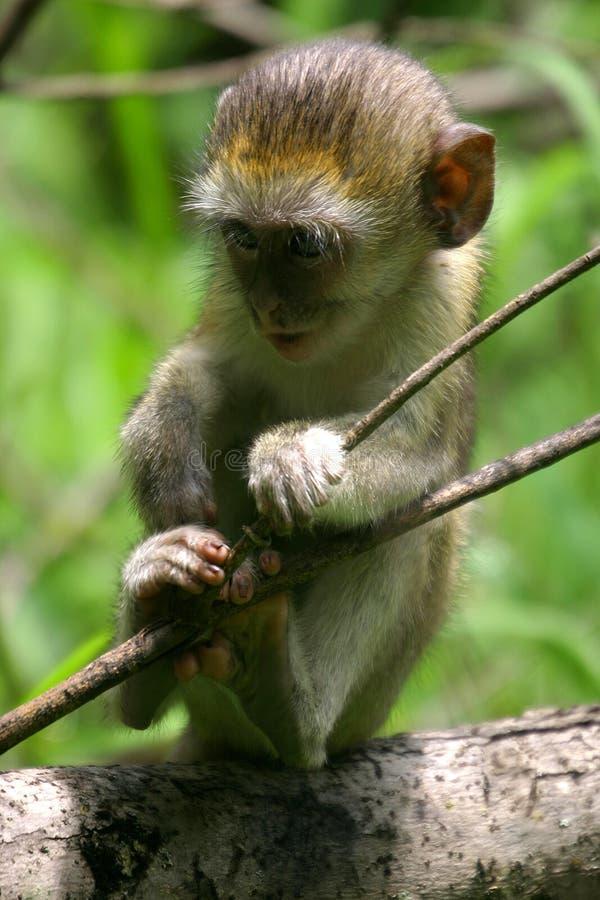 обезьяна младенца стоковое изображение rf