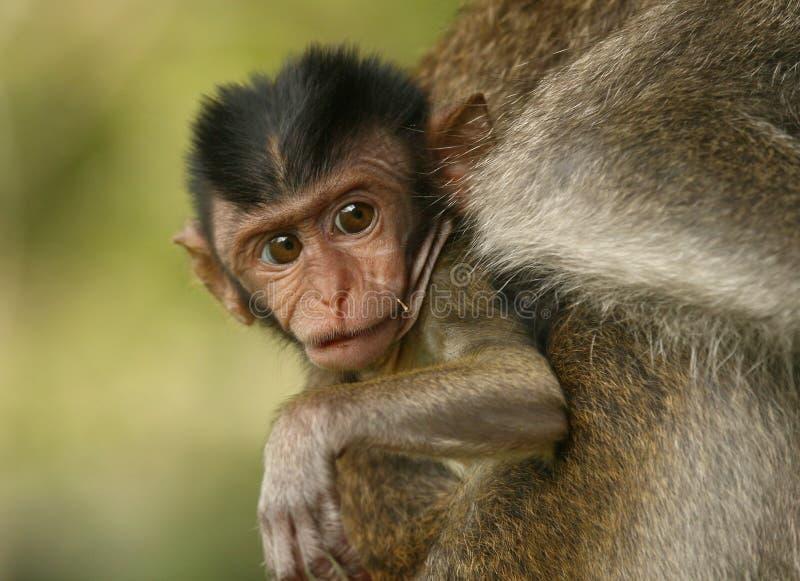 обезьяна младенца стоковые изображения rf