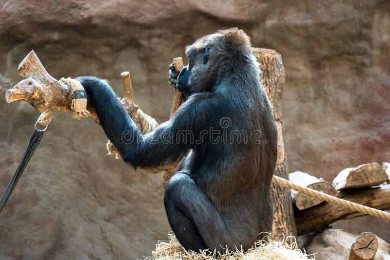 Обезьяна на зоопарке стоковые изображения
