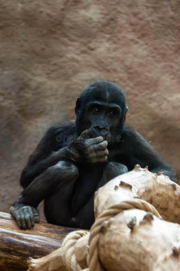 Обезьяна на зоопарке стоковое изображение