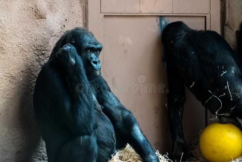 Обезьяна на зоопарке стоковое фото