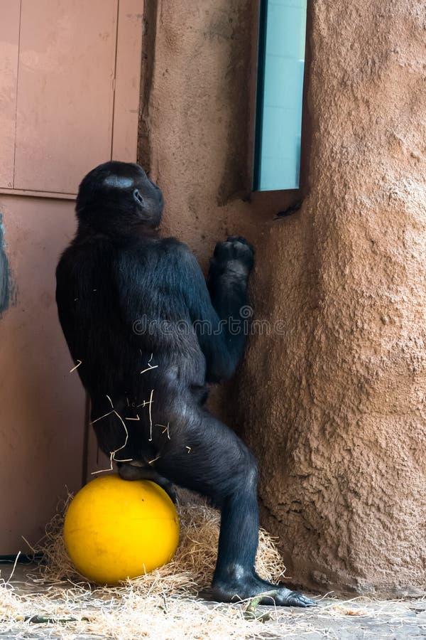Обезьяна на зоопарке стоковая фотография rf