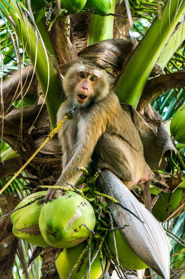 Обезьяна на кокосовой пальме стоковое фото