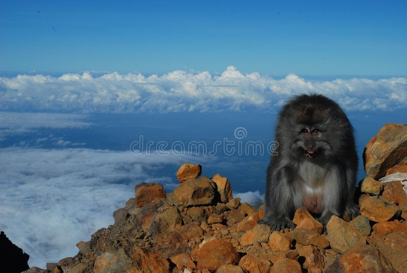 Обезьяна на пиковой горе Rinjani стоковые фотографии rf
