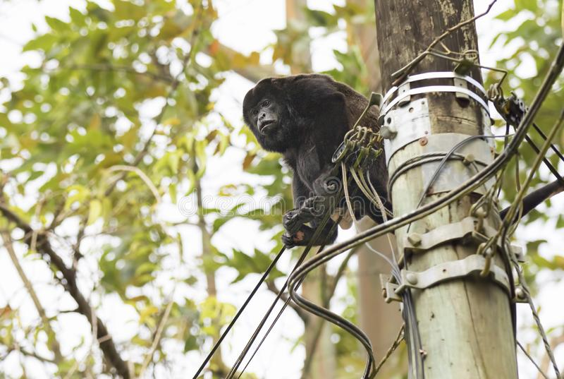 Обезьяна ревуна на гидро проводах в Коста-Рика стоковые изображения