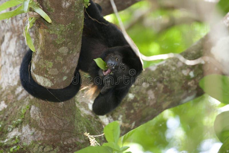 обезьяна ревуна стоковые фотографии rf