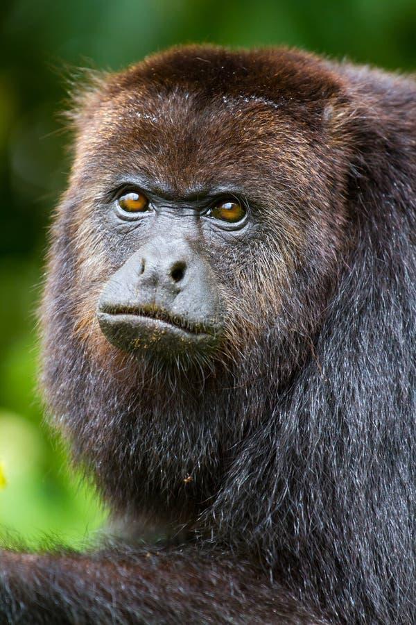 обезьяна ревуна belize стоковые изображения rf