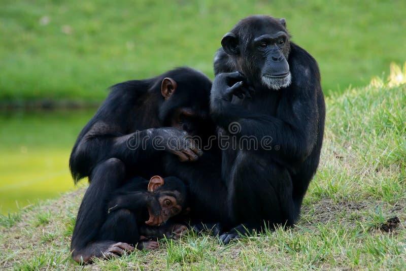 обезьяна семьи стоковые изображения