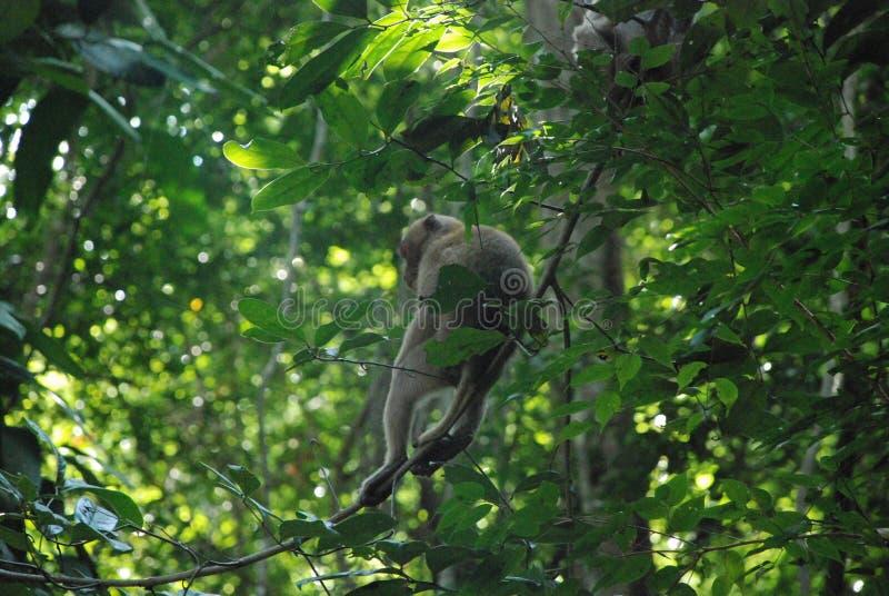 Обезьяна сидит на дереве в джунглях Таиланда стоковые изображения rf