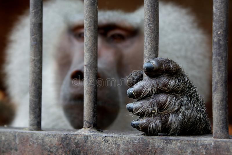 Обезьяна сидя внутри клетки и держа решетку стоковые изображения rf