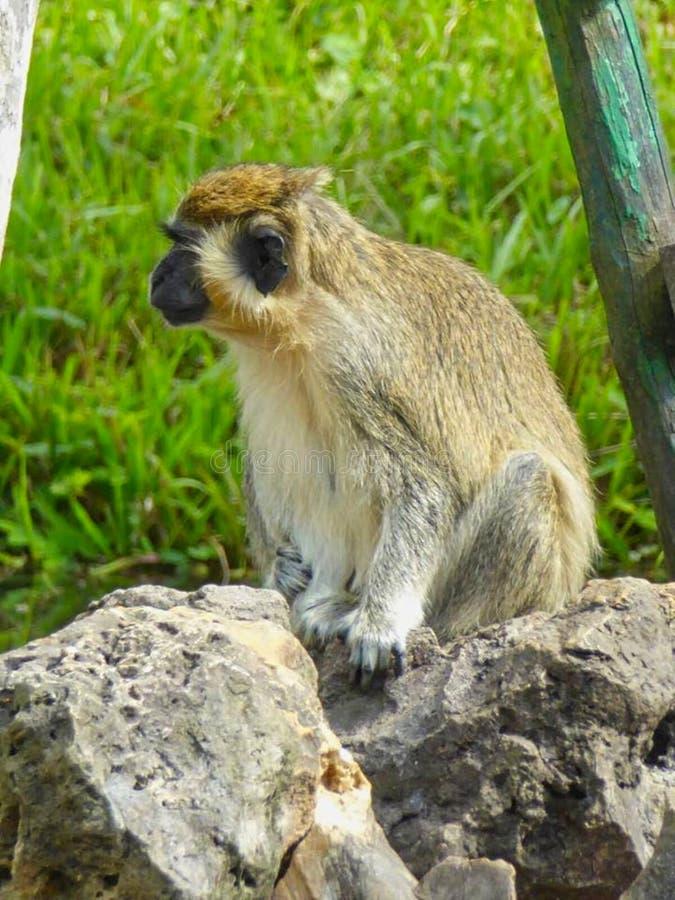обезьяна сидя на утесе в парке стоковые фото