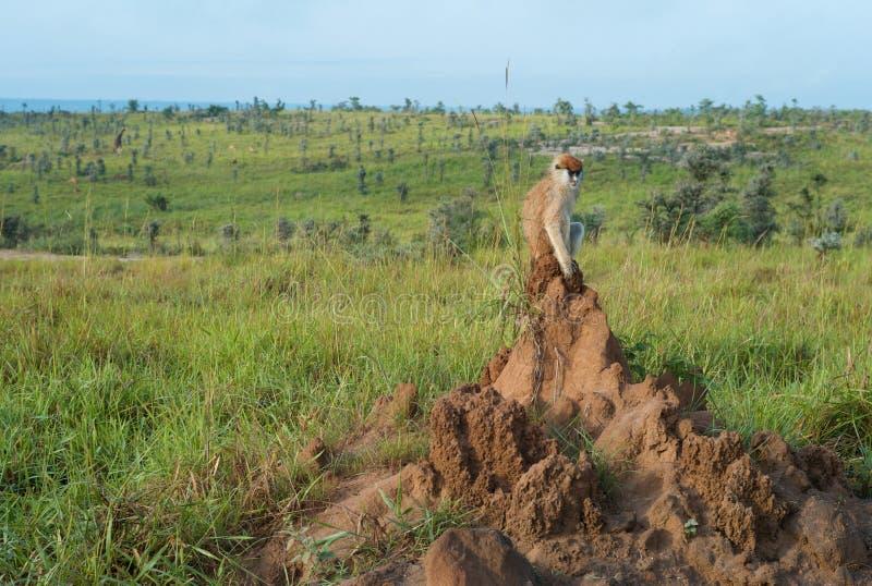 Обезьяна сидя на холме муравья стоковое фото rf