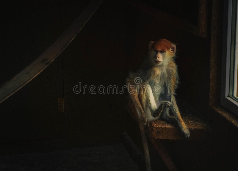 Обезьяна сидя в комнате стоковое фото rf
