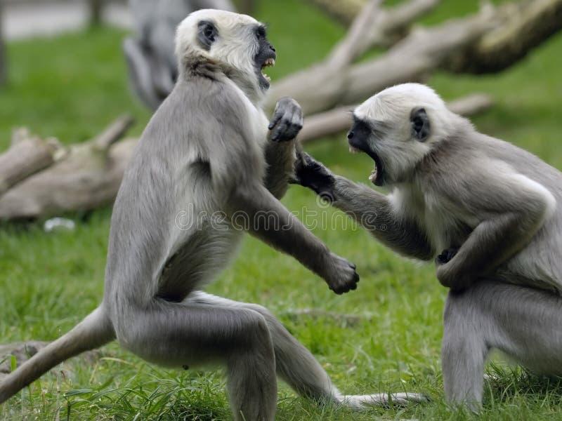 обезьяна сражения стоковые фото