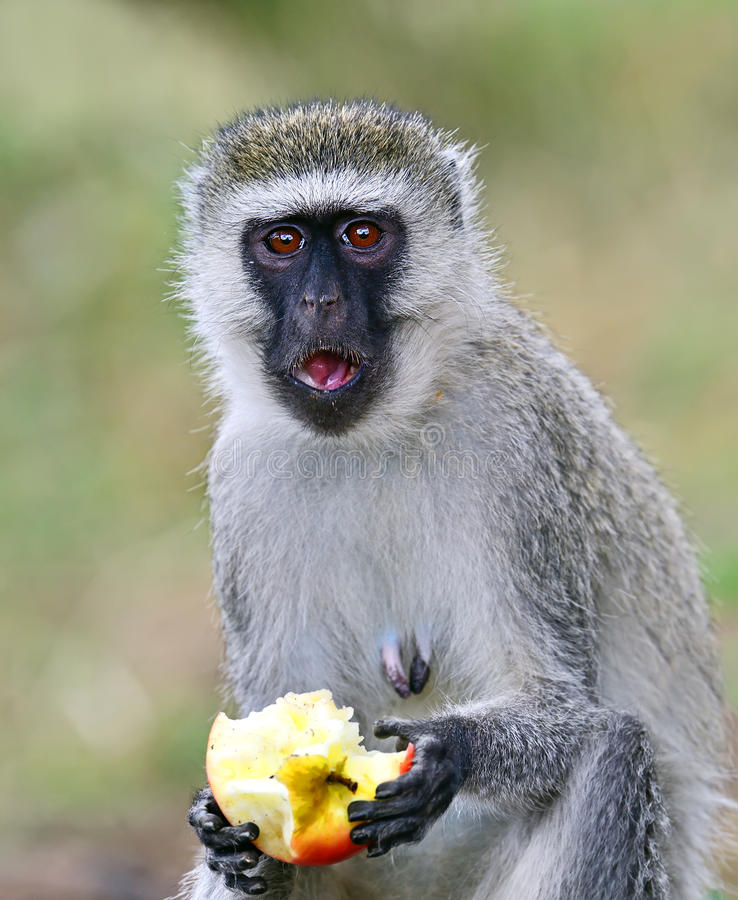 обезьяна черной стороны стоковое фото