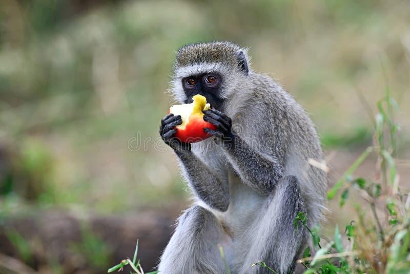 обезьяна черной стороны стоковые фотографии rf