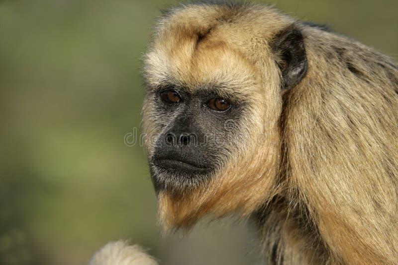 обезьяна Черно-ревуна, caraya Alouatta стоковые фотографии rf