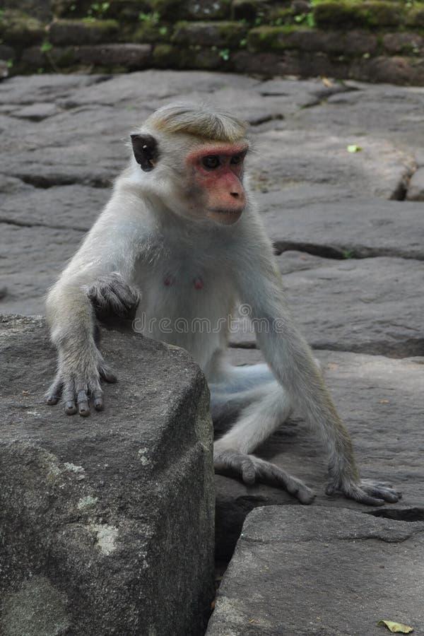 Обезьяна, Шри-Ланка стоковое фото rf