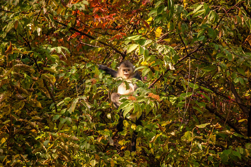 Обезьяна Юньнань черная Оскорбление-обнюханная стоковое фото rf