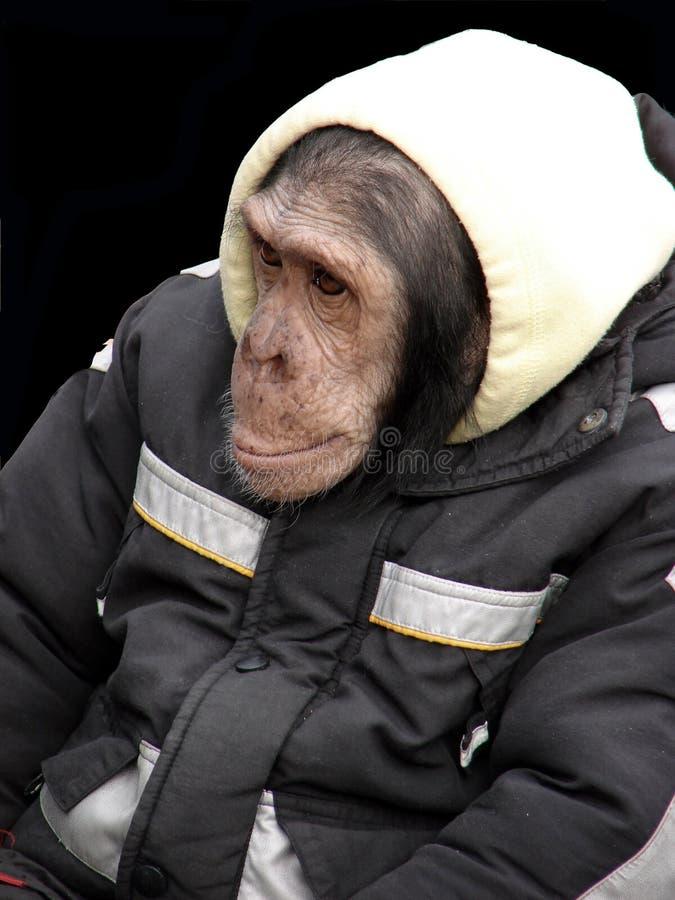 обезьяна стоковая фотография