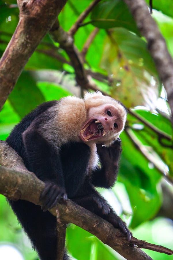 Обезьяна обезьяна Capuchin в окружающей среде стоковые фотографии rf