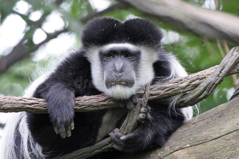 обезьяна colobus ленивая стоковое изображение