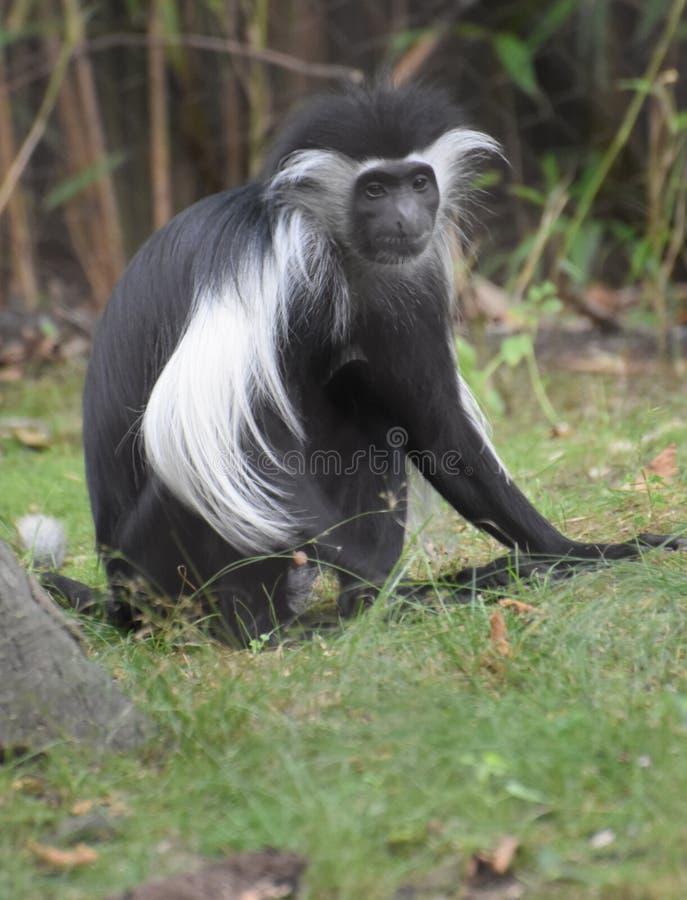 Обезьяна Colobus сидя на травянистой земле стоковые изображения
