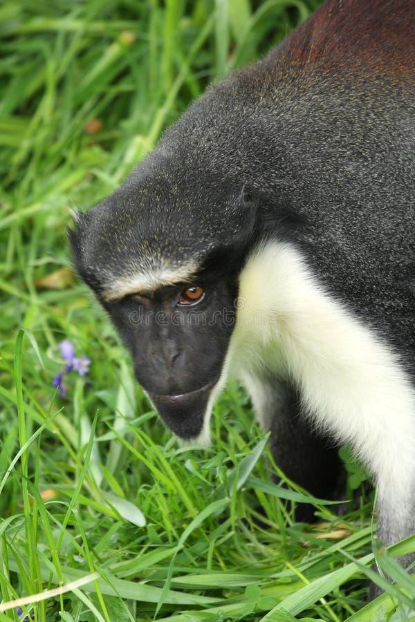 обезьяна diana стоковые фото
