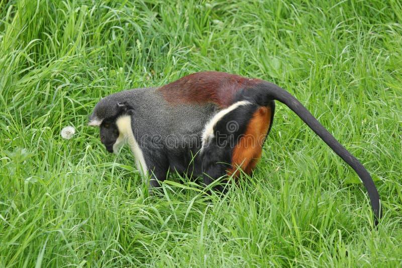 обезьяна diana стоковые фотографии rf