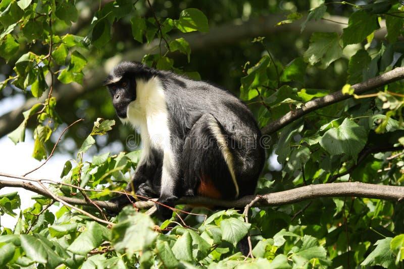 обезьяна diana стоковая фотография rf