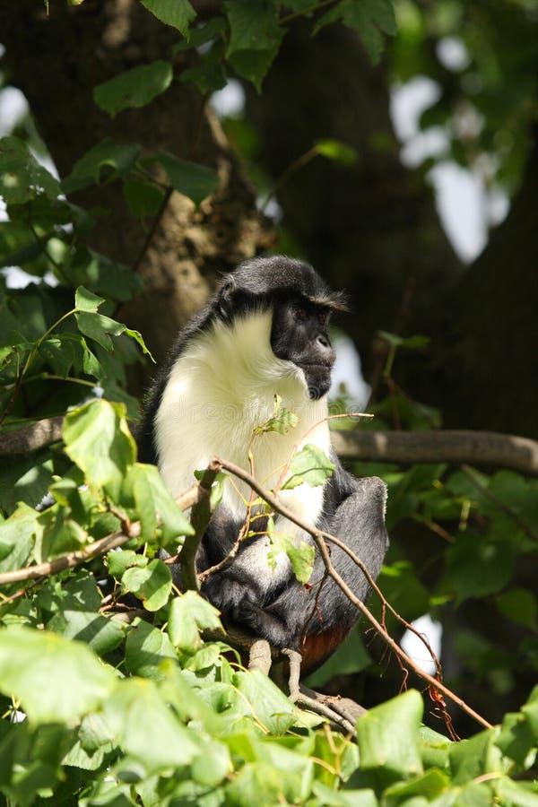 обезьяна diana стоковое изображение