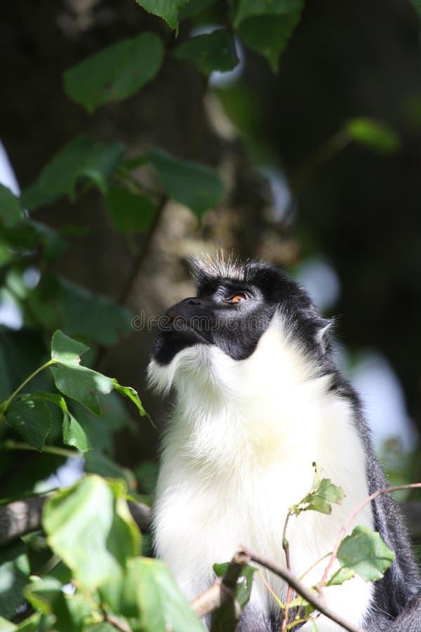 обезьяна diana стоковое фото