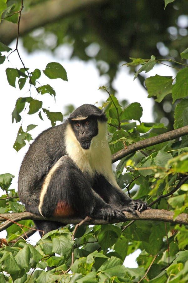 обезьяна diana стоковая фотография