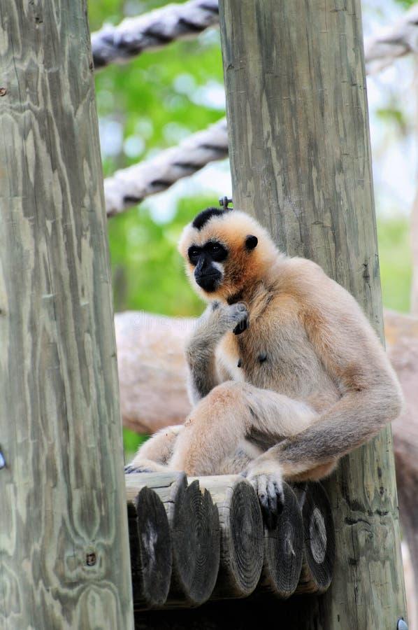 обезьяна gibbon стоковые фотографии rf