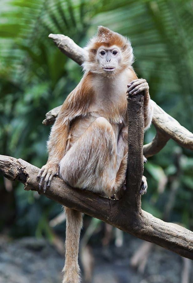 обезьяна langur чёрного дерева стоковое фото