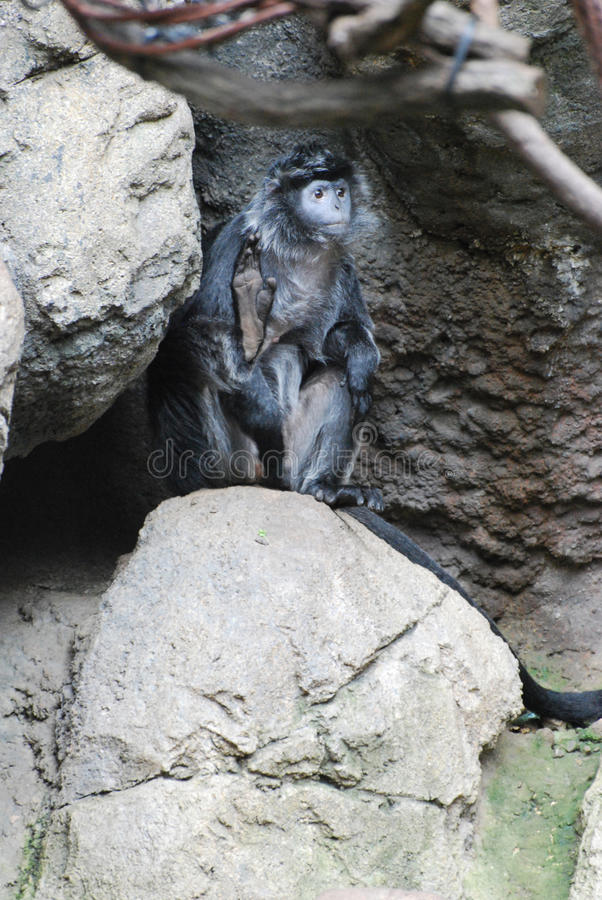 Обезьяна Langur чёрного дерева сидя на утесе стоковые фото